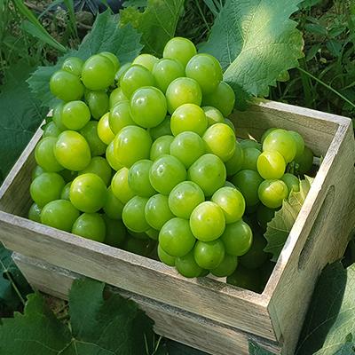 샤인머스켓 망고포도 특품 1.5kg (2-3송이) 우수농산물(GAP) 인증  대표이미지 섬네일
