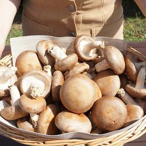 고창 생 표고버섯 정품 1kg (매일수확)